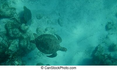 Sea turtle swimming in the coral reefs of the caribbean sea,...