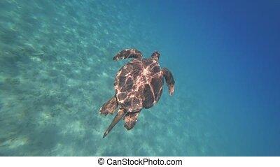 Sea turtle swims in blue sea water aquatic animal underwater video 4K