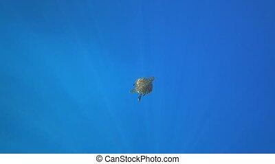 Sea turtle swims in blue sea water aquatic animal underwater video