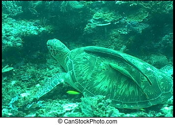 sea turtle underwater diving video - underwater diving video...