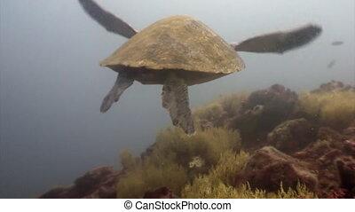 Sea turtle with yellow tortoiseshell underwater lagoon of...