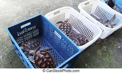 Sea Turtles Farm - Two sea turtles in the plastic basket