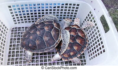 Sea Turtles Farm - Two sea turtles in the plastick bascket