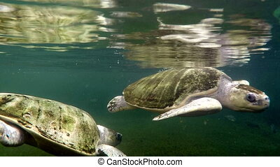 Sea turtles in aquarium - Pair of swimming sea turtles...