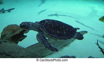 Sea turtles (superfamily Chelonioidea) footage video