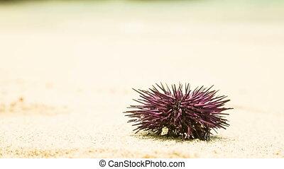 Sea urchin at beach in mauritius