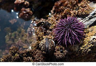 A colorful purple sea urchin found in a tidal pool on a beach in California.