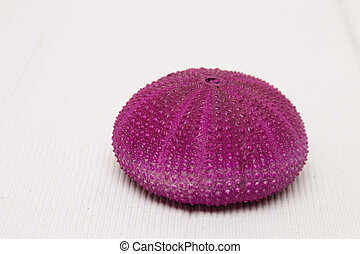 sea urchin on white