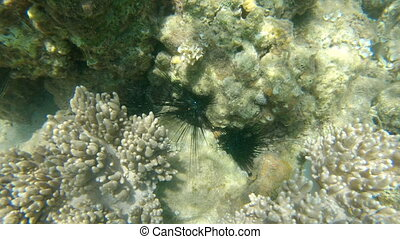 Sea Urchins hiding in a reef.