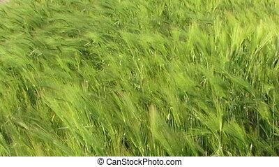 Sea wheat