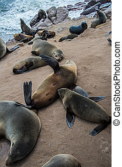 Sea wolves resting in Cape cross - Namibia