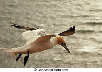 A northern gannet in flight