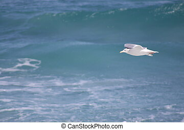 Seabird in Flight - A small seagull flys along the ocean.