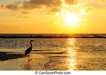 Seabird with sunrise background at Maldives.