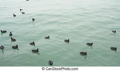 Seabirds life in a sea. - Ducks swim in a sea.