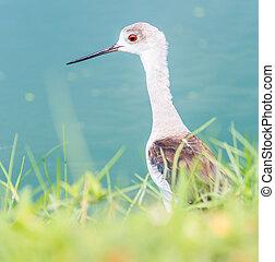 Seabirds (marsh sandpiper) Asia Thailand