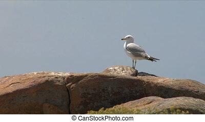 seagull 04 - Seagull on coast
