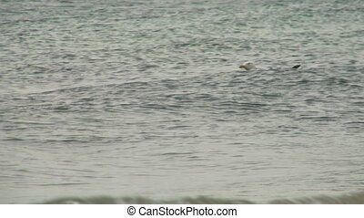 seagull 104 - Seagull in the sea