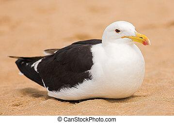Seagull #13 - Cape Gull (Larus Vetula) brooding on a beach...
