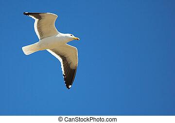 Seagull #17 - Cape Gull (Larus Vetula) soaring, sun shining...