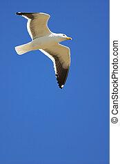Seagull #18 - Cape Gull (Larus Vetula) soaring, sun shining...
