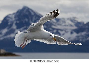 seagull 3 - seagull in flight