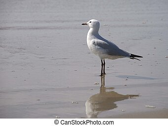 A lone seagull standing at the water's edge