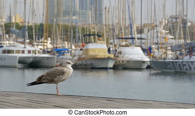 Seagull against the backdrop of boats and yachts in Rambla del Mar, Barcelona