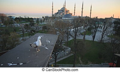 Seagull and blue mosque at sunst - Front view of seagull...