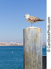 Seagull and city  in Cascais