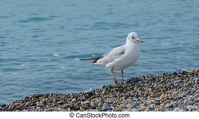 Seagull and pigeon walk on pebble beach. Sea bird on rocky beach of Sochi, Russia.