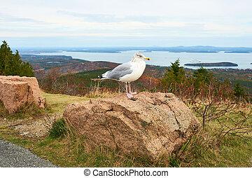 Seagull at Acadia National Park, Maine, USA.