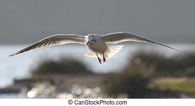 Seagull at a riverbank, with nice sunset light