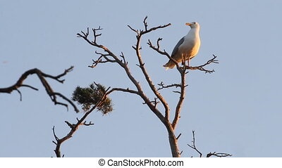 seagull big white on a branch. colony of birds. voices of...