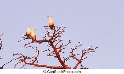 seagull big white on a branch. colony of birds.