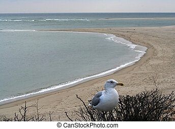 Seagull Cape Cod Chatham - Seagull in front of Chatham Beach...