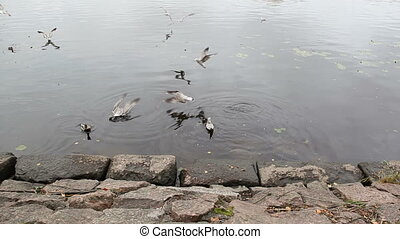 Seagull chase others from eating bread crumbs. Seacoast in...