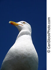 Seagull - Close up of a seagull with a blue sky background.