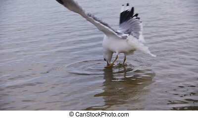 Seagull Diving and Fighting for Food in Winter Ice-Covered Sea. Slow Motion