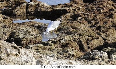 seagull drinks on the rocks by the sea