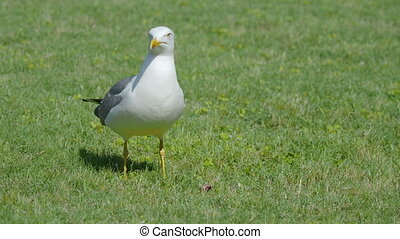 Seagull eat leftovers. Bird quickly swallows something...