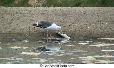 Seagull Eating Fish - Seagull eating fish.