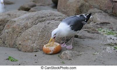 Seagull eats a bread bowl on a rocky beach