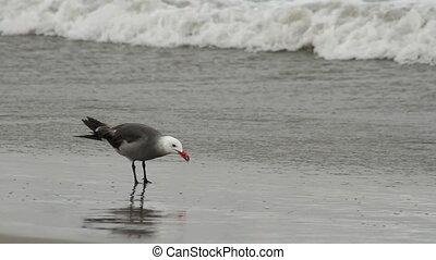 Seagull Feasting at Beach - A seagull grabs little sea ...