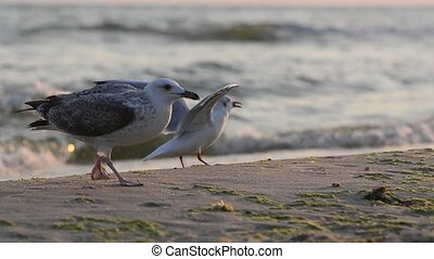 Seagull feeding on the coast - Feed the birds with bread....