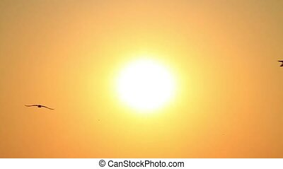 Seagull flies into the sky towards the sun. Sunset and flying birds. Slow motion. 720