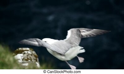 Seagull flies near the cliff in slow motion - Seagull flies ...
