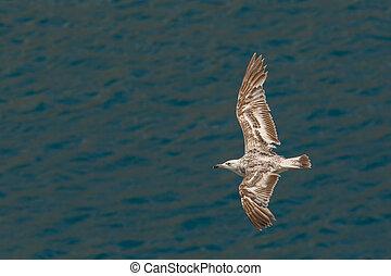 Seagull flies over Black Sea near the coast of Crimea