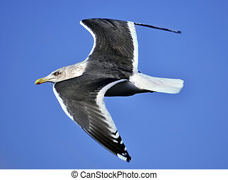 seagull flies through blue sky