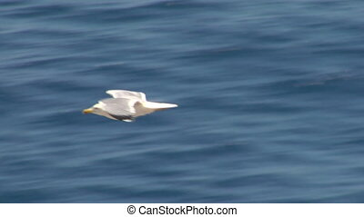 seagull fly 02